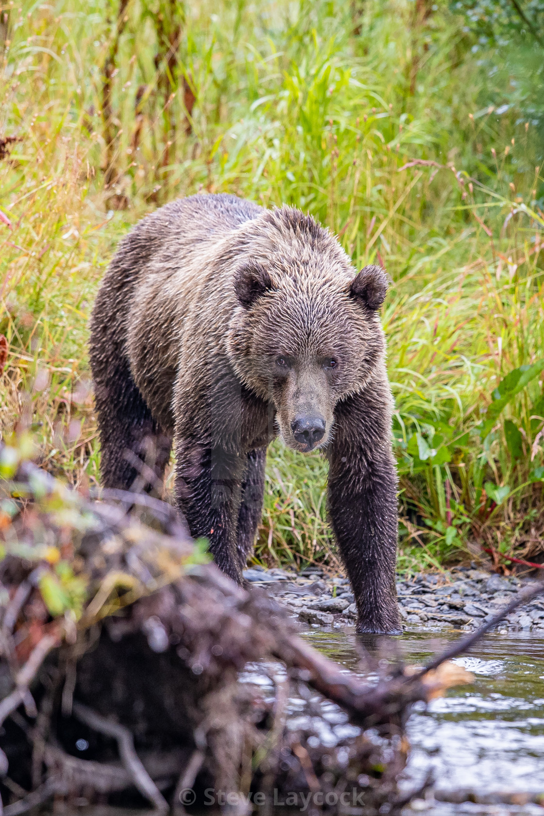"""kodiak brown bear (grizzly)"" stock image"