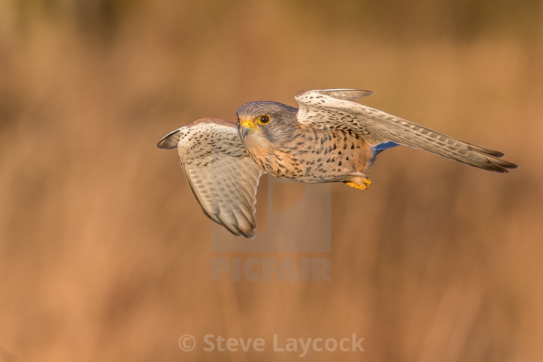 """European Common kestrel Falco tinnunculus"" stock image"