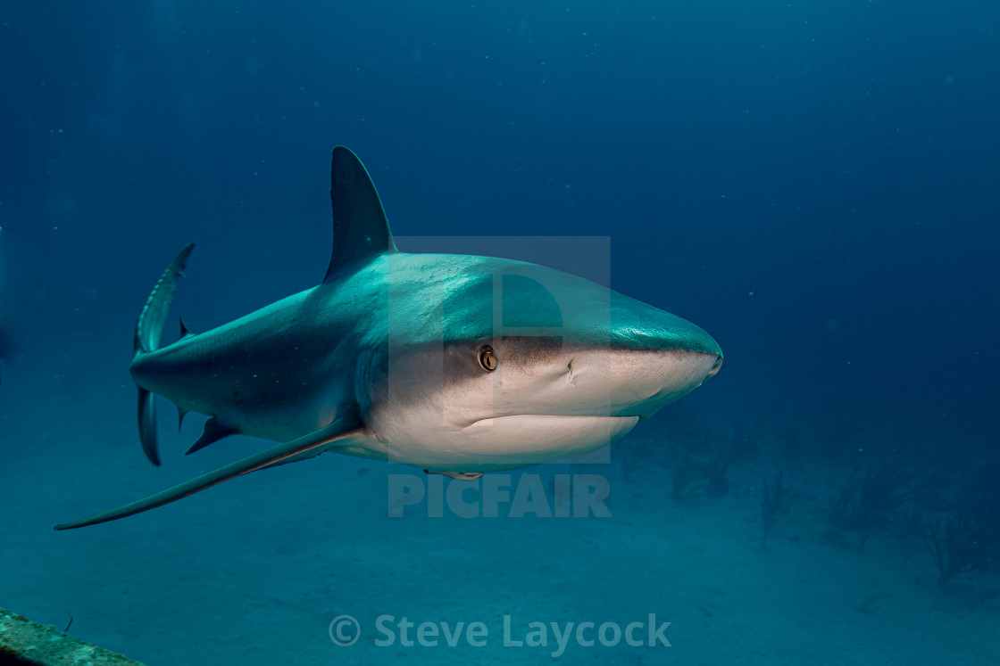 """Caribbean grey reef shark"" stock image"