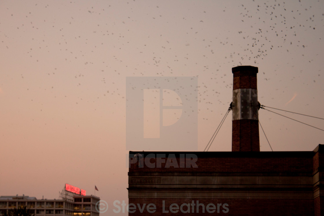 """""""Swifts at the Chapman School"""" stock image"""