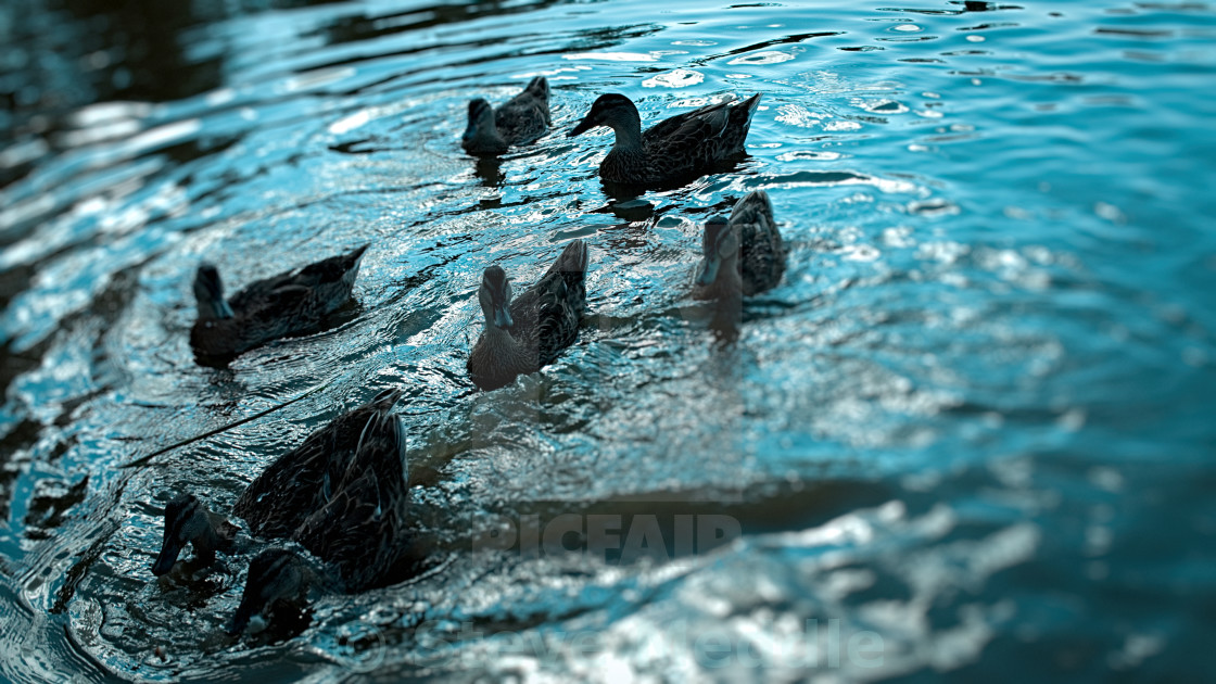 """Ducks Swimming in a Pond - Jul 2015"" stock image"