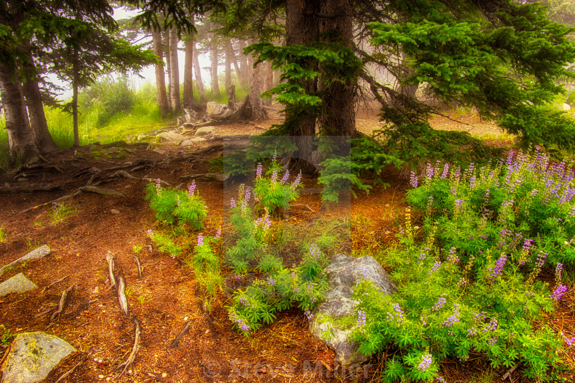 """Forest Lupines"" stock image"