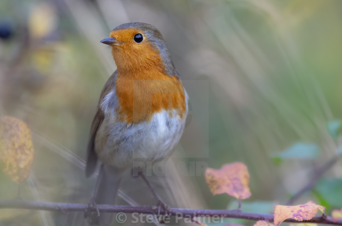 """Close up shot of a Robin"" stock image"