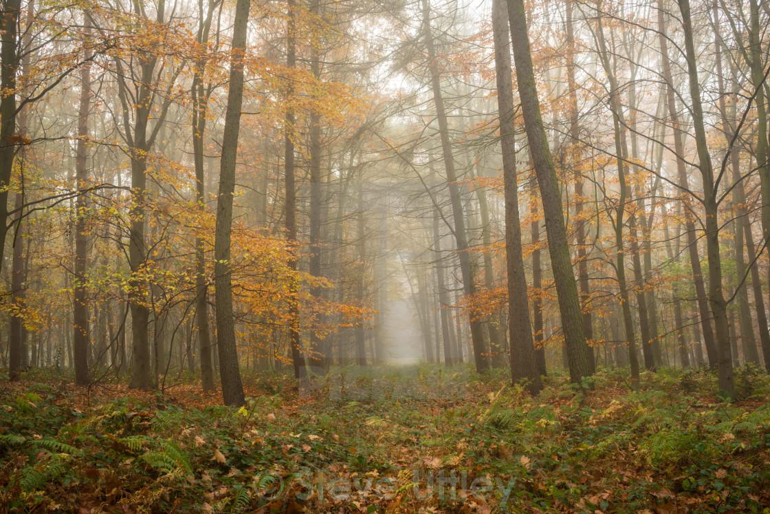 """Woodland misty mystery"" stock image"