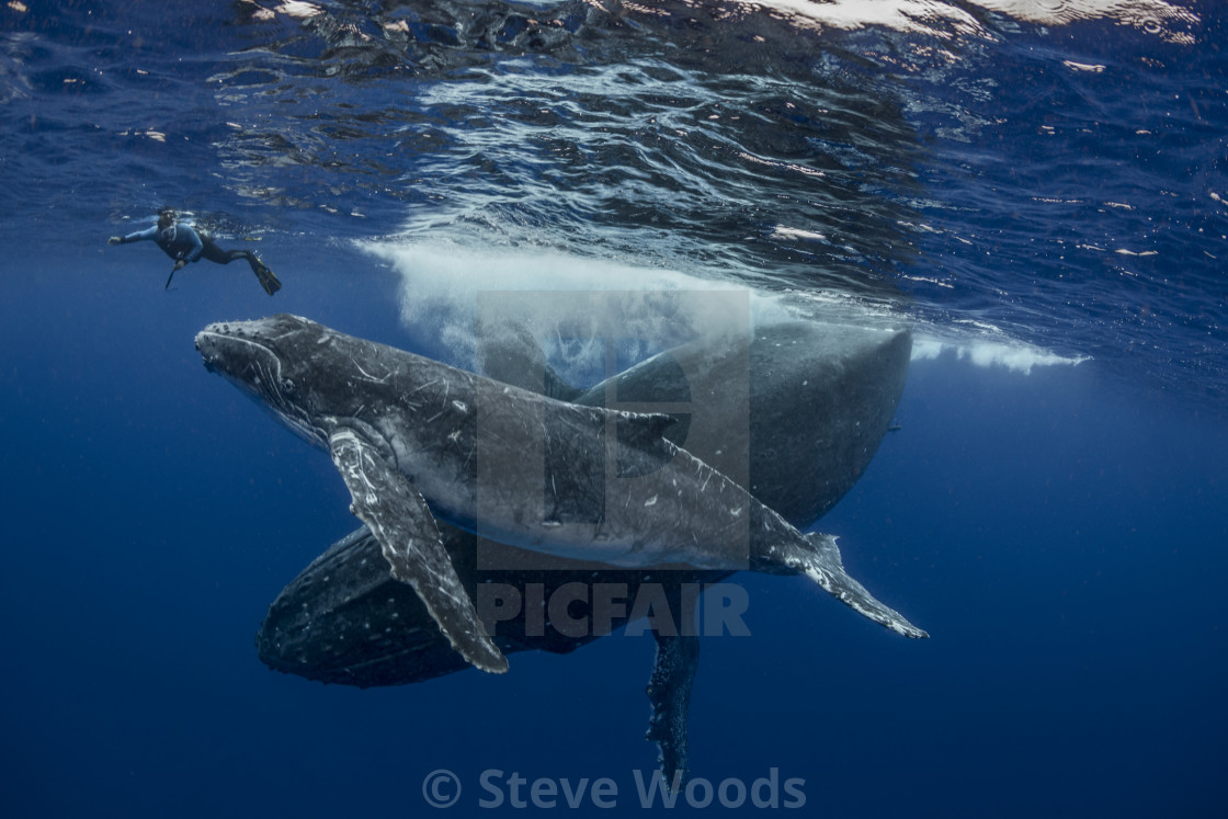 """An underwater photograph of a Humpback Whale (Megaptera novaeangliae) and her..."" stock image"