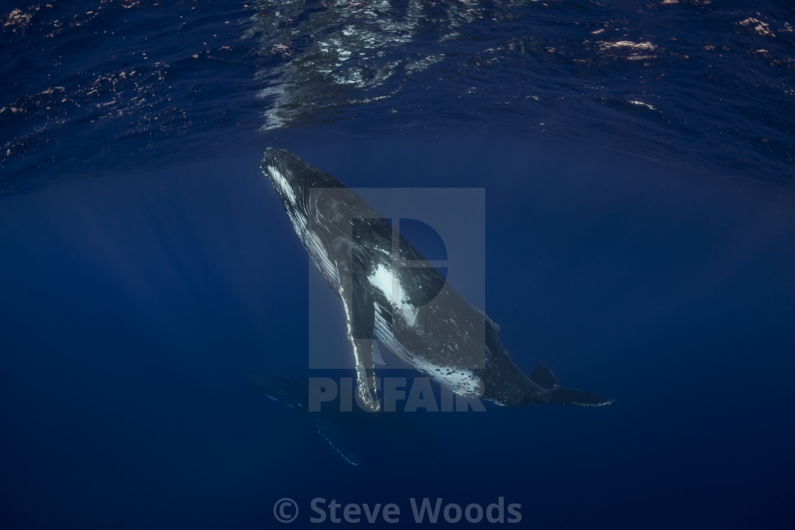 """""""An underwater photograph of two Humpback Whales (Megaptera novaeangliae)..."""" stock image"""