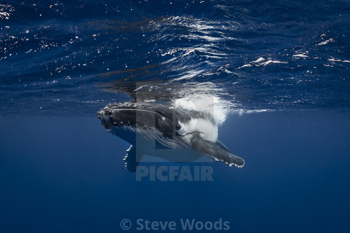 """An underwater photograph of a Humpback Whale calf (Megaptera novaeangliae)..."" stock image"