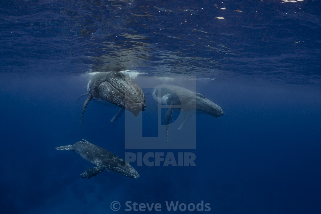 """An underwater photograph of a Humpback Whale (Megaptera novaeangliae) her..."" stock image"