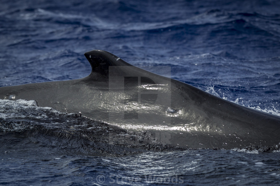"""A Humpback Whale (Megaptera novaeangliae) pictured in Vava'u, Tonga"" stock image"