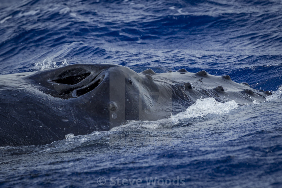"""A Humpback Whale (Megaptera novaeangliae) pictured in Vava'u, Tonga"" stock image"