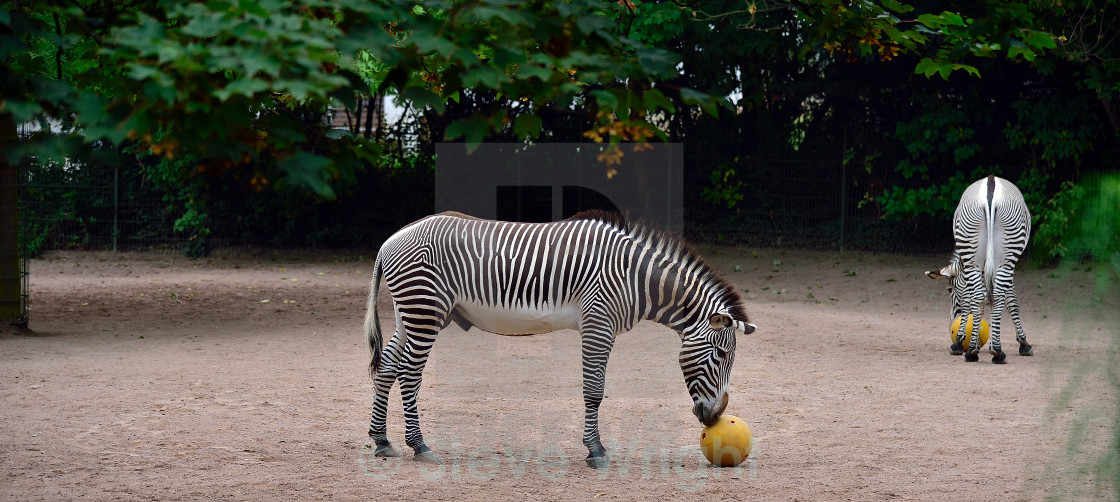 """Zebra and Ball"" stock image"
