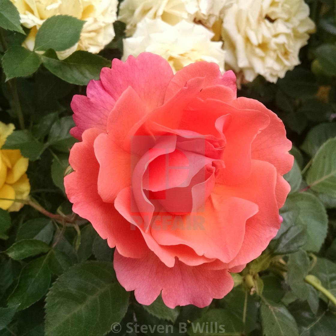 """Orange flower"" stock image"