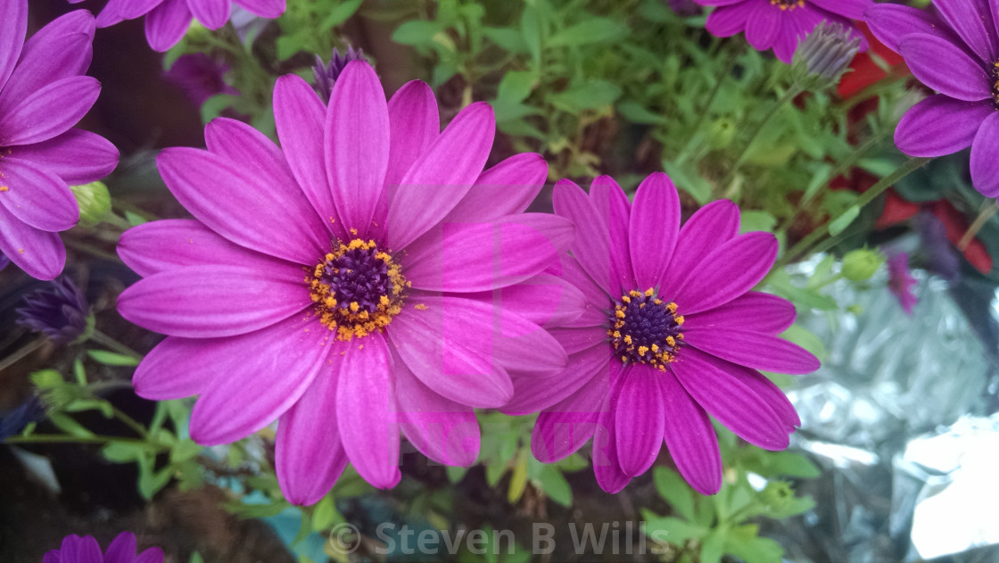 """""""Pink flowers"""" stock image"""