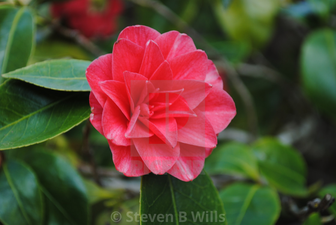 """""""A Red Camellia"""" stock image"""