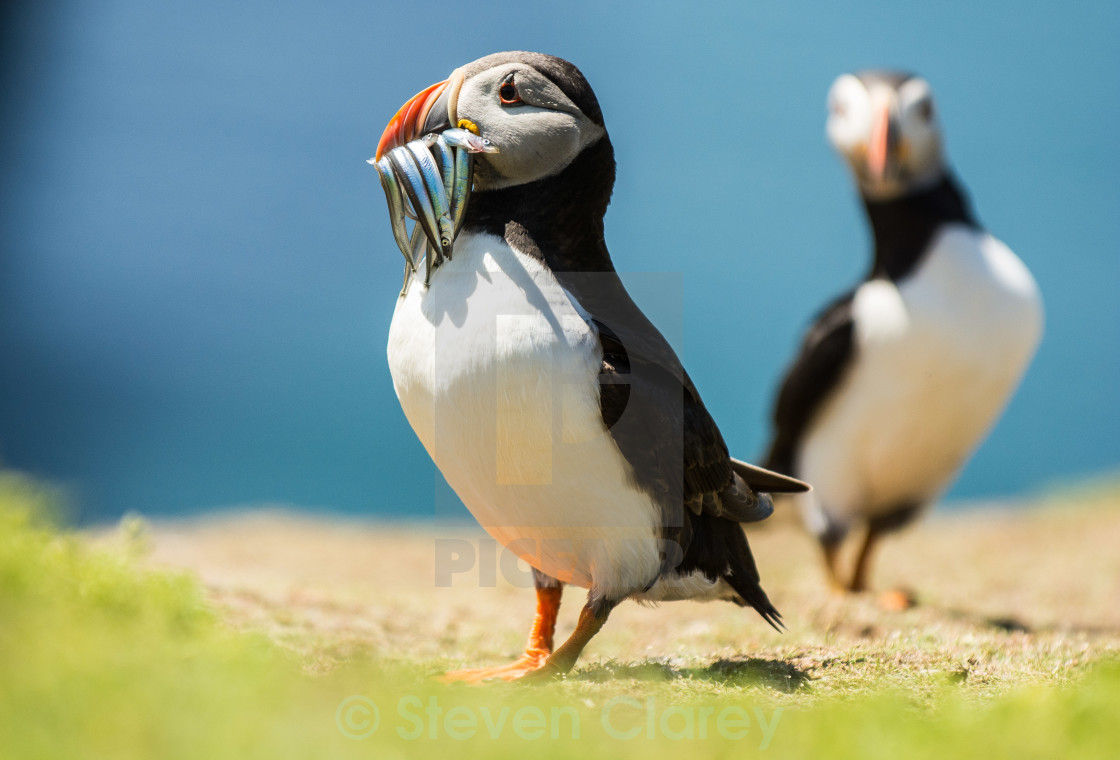 """Puffin With Fish"" stock image"