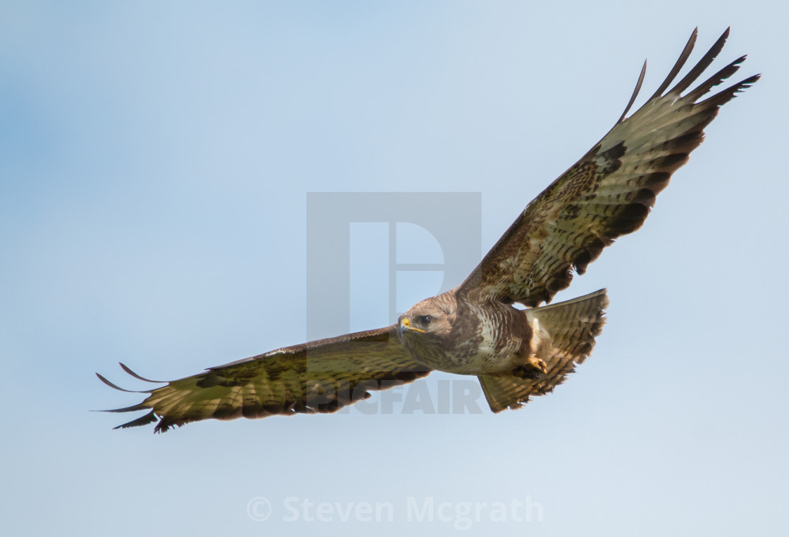 """Buzzard in flight"" stock image"