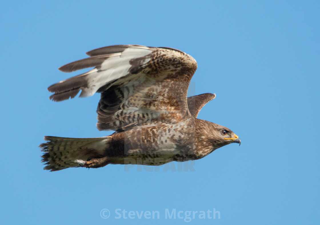 """Buzzard in flight"" stock image"