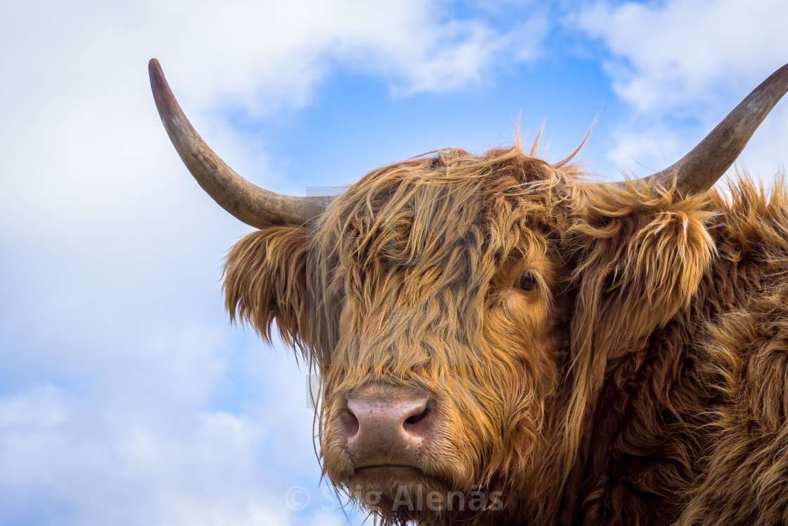 cow hair styles brown hair highland cow license for 163 6 20 on picfair 9207