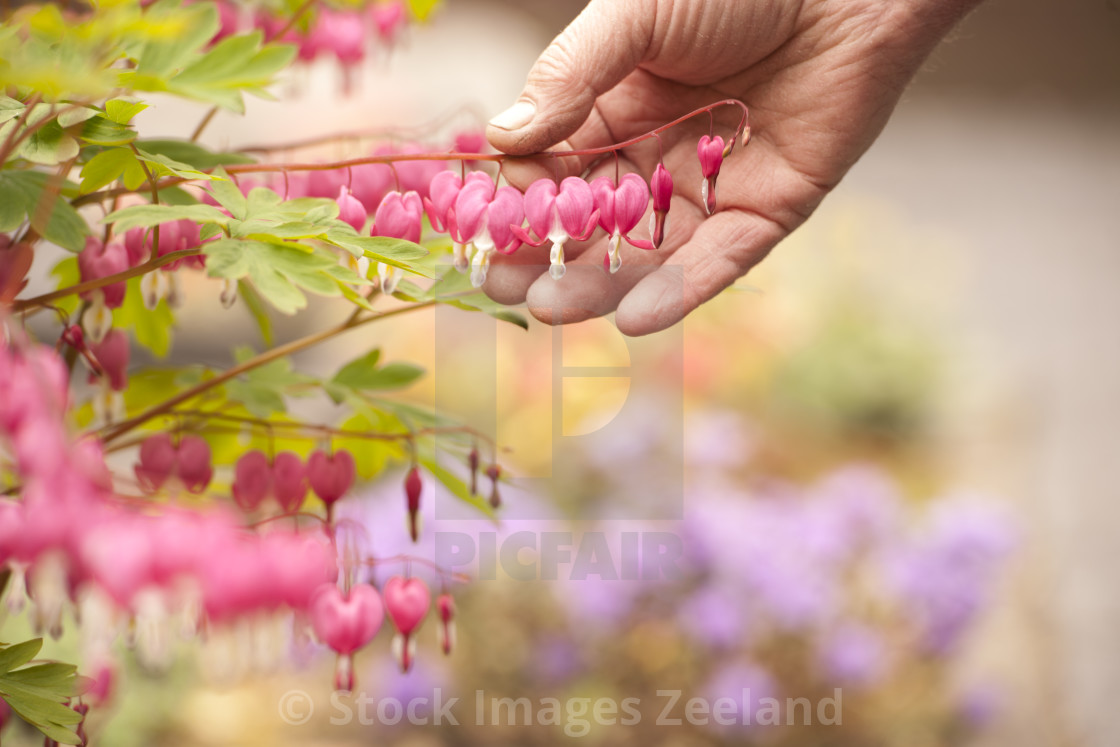 """gardener looks at his grown flowers"" stock image"