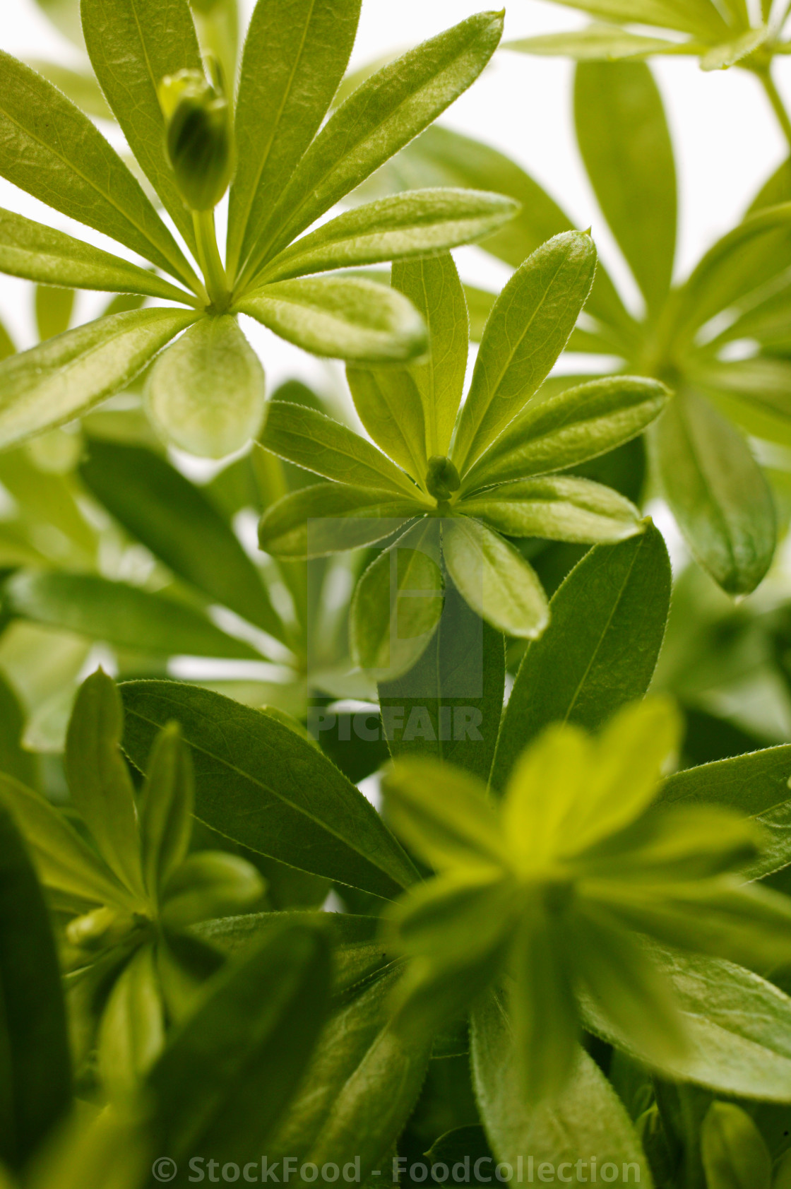 """Fresh woodruff"" stock image"