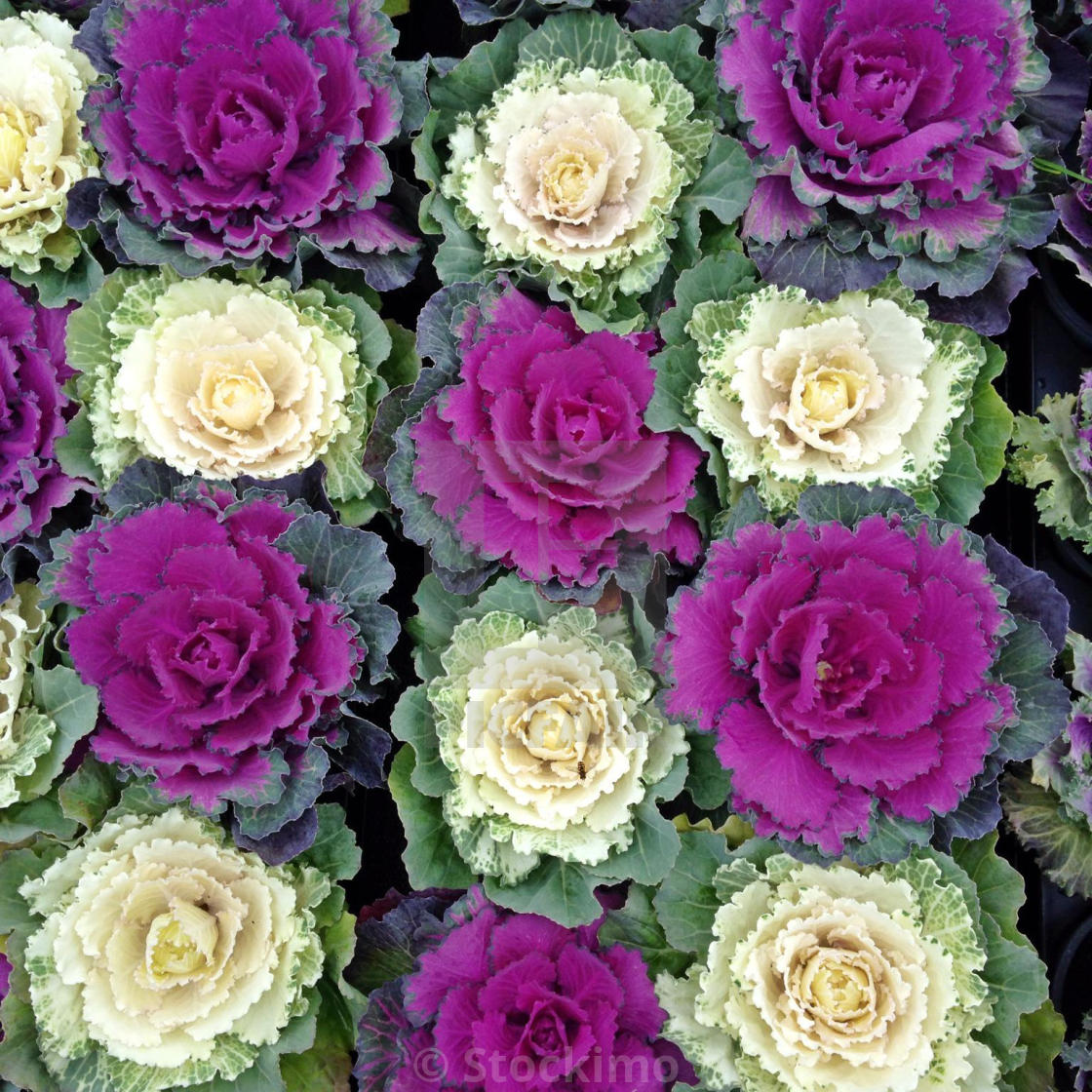 Close Up Of Ornamental Cabbage Flowering Cabbage Brassica