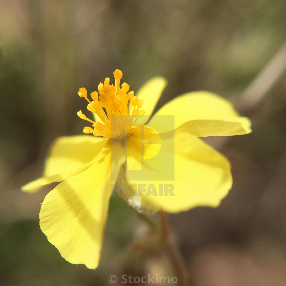 Macro Of A Yellow Flower With Five Petals License For 3100 On