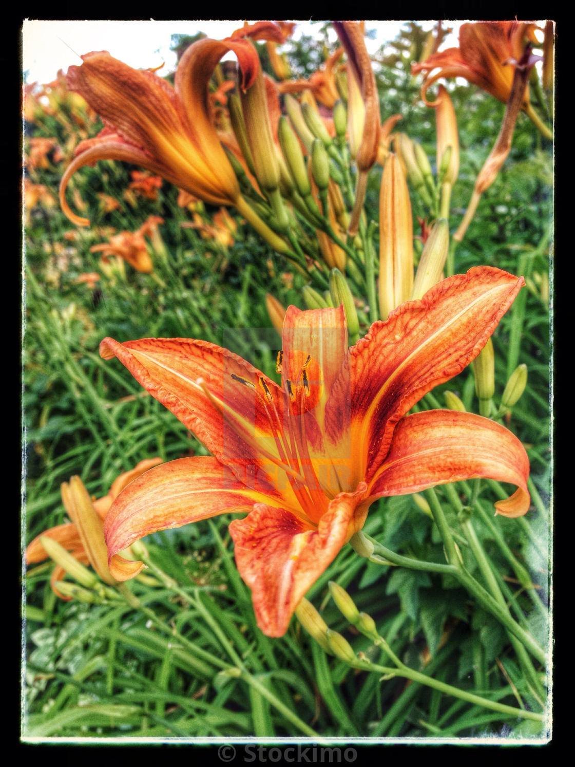 Tiger Lily Flower Bed License For 3100 On Picfair