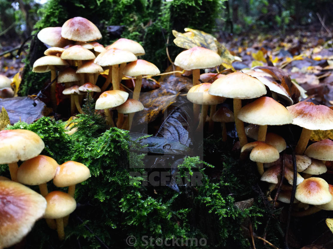 """Damp mushrooms on the ground in a wooded area, Chieveley, Newbury, Berkshire, UK."" stock image"