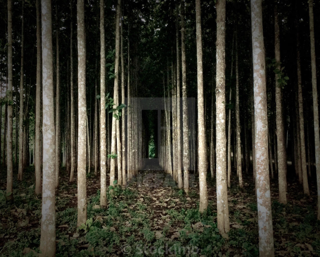 """Rows of teak trees, Belize"" stock image"