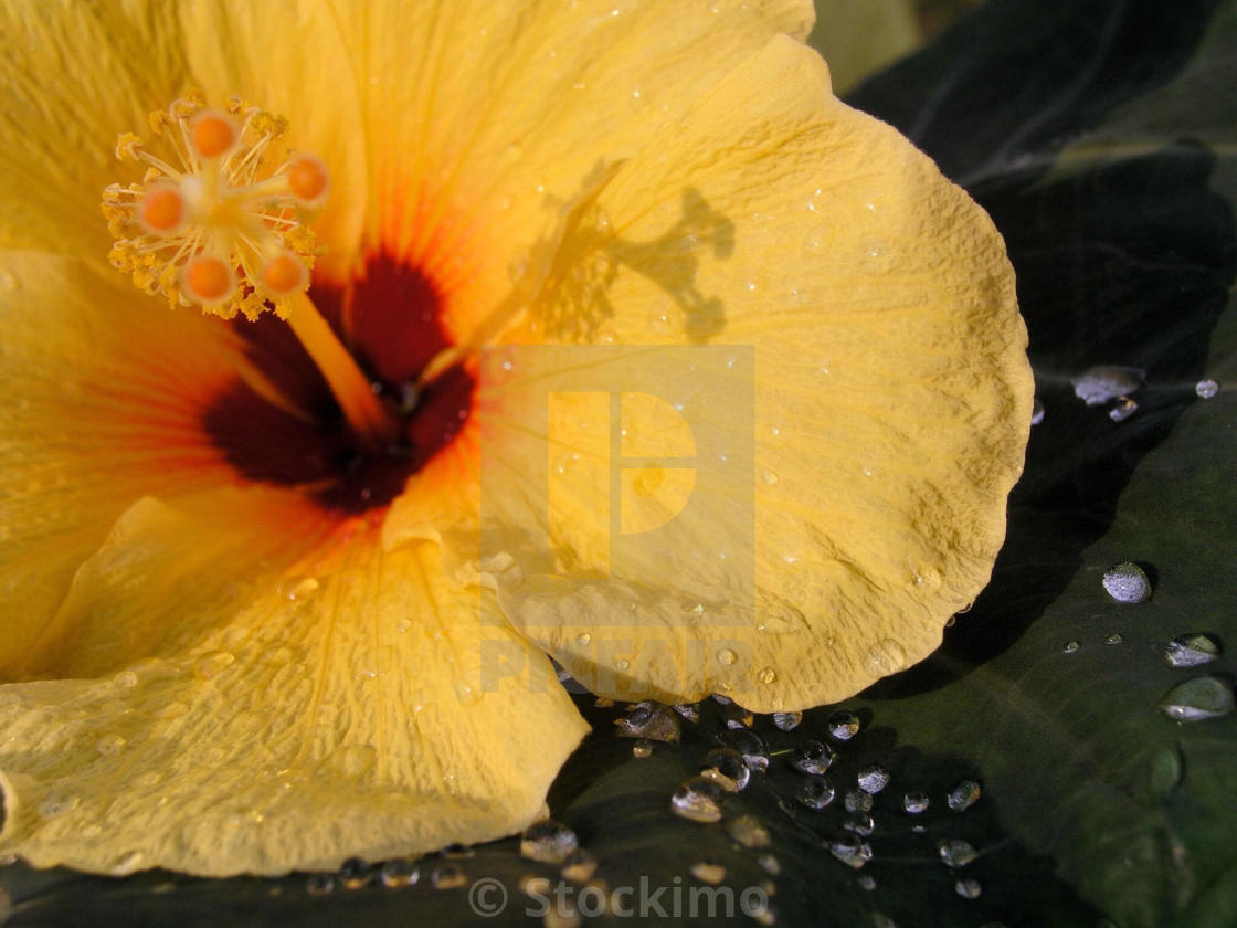 Detail Of Yellow Hibiscus Flower On Taro Leaf Beaded With Raindrops