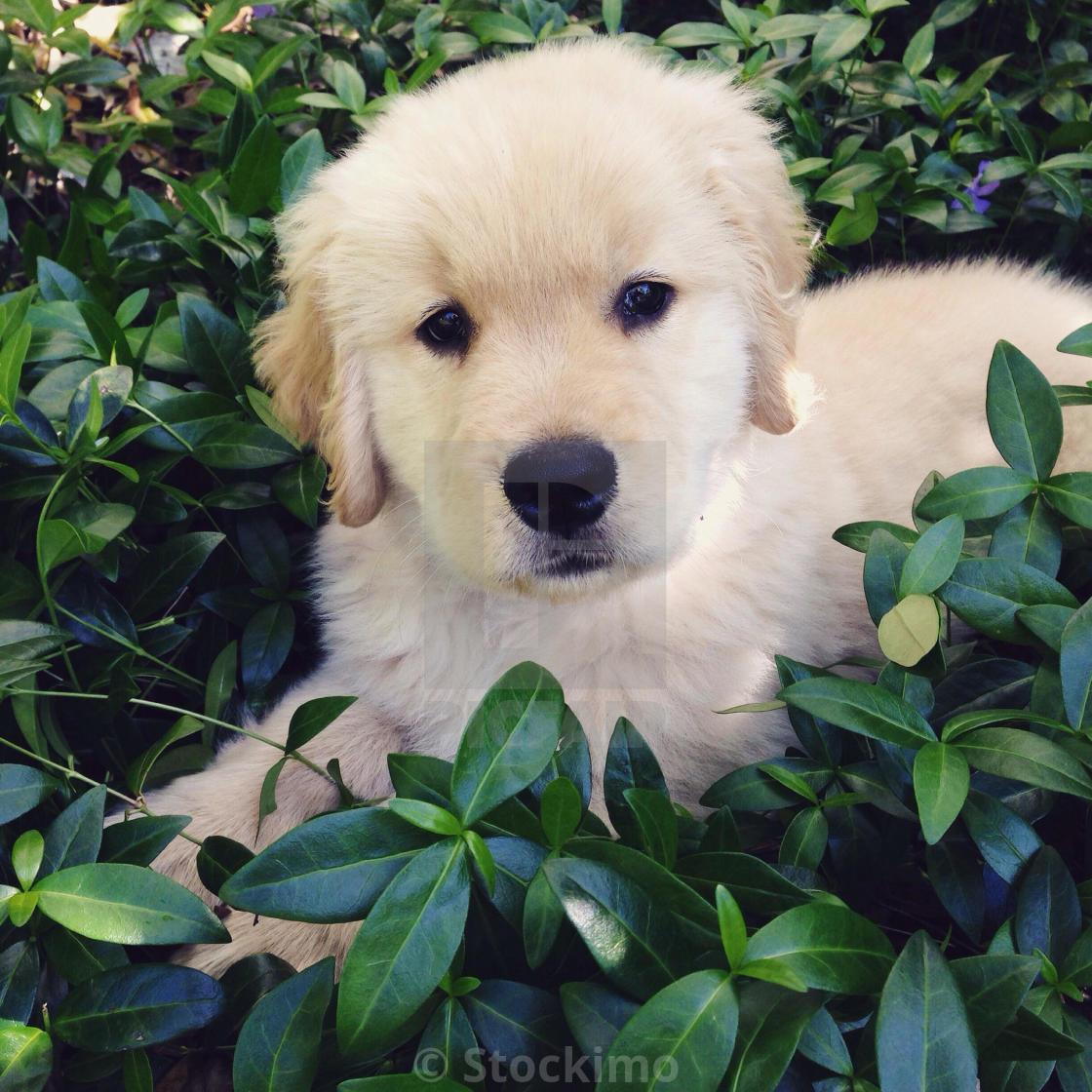 Golden Retriever Puppy License Download Or Print For 31 00 Photos Picfair