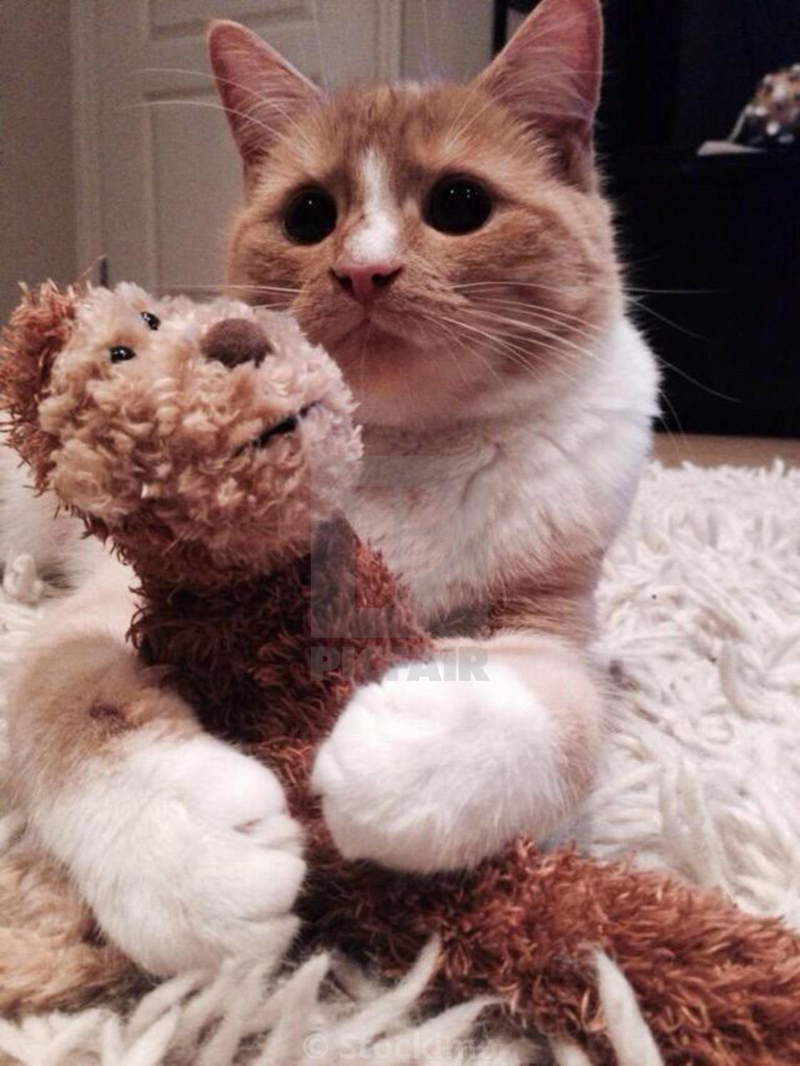 Ginger And White Kitten Using His Big Paws To Hold Onto His Teddy