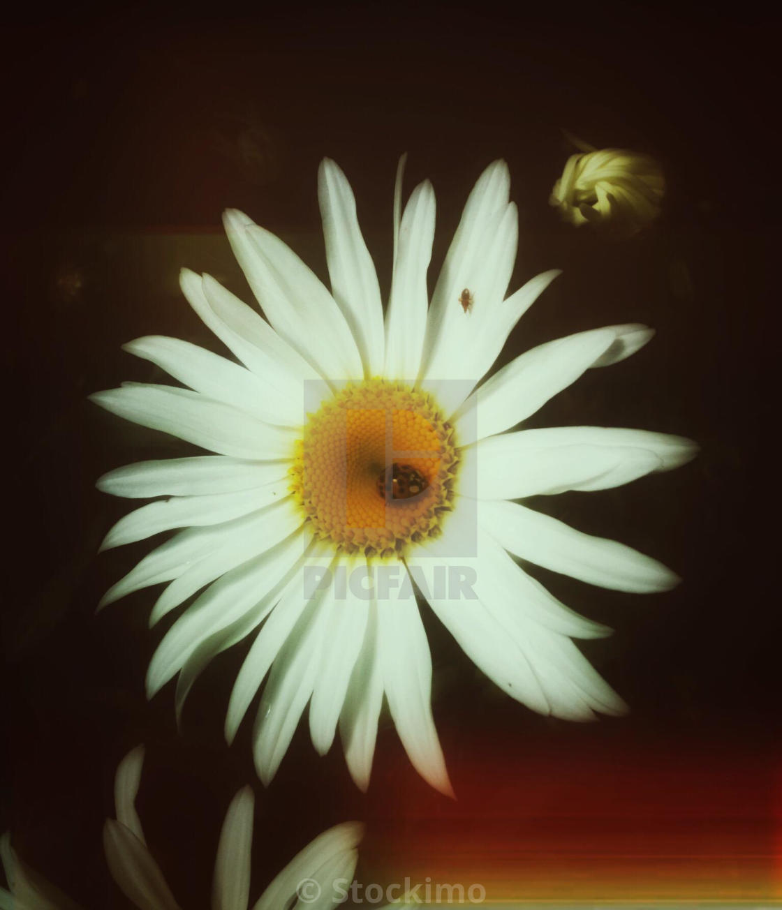 Large Daisy Flower With Ladybird And Small Bug License For 3100