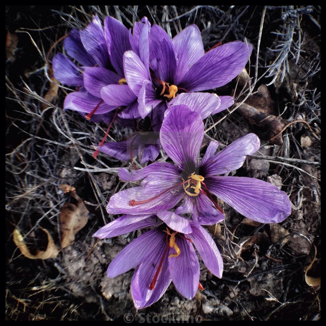The Vibrant Mauve Flowers Of The Saffron Crocus Crocus Sativus