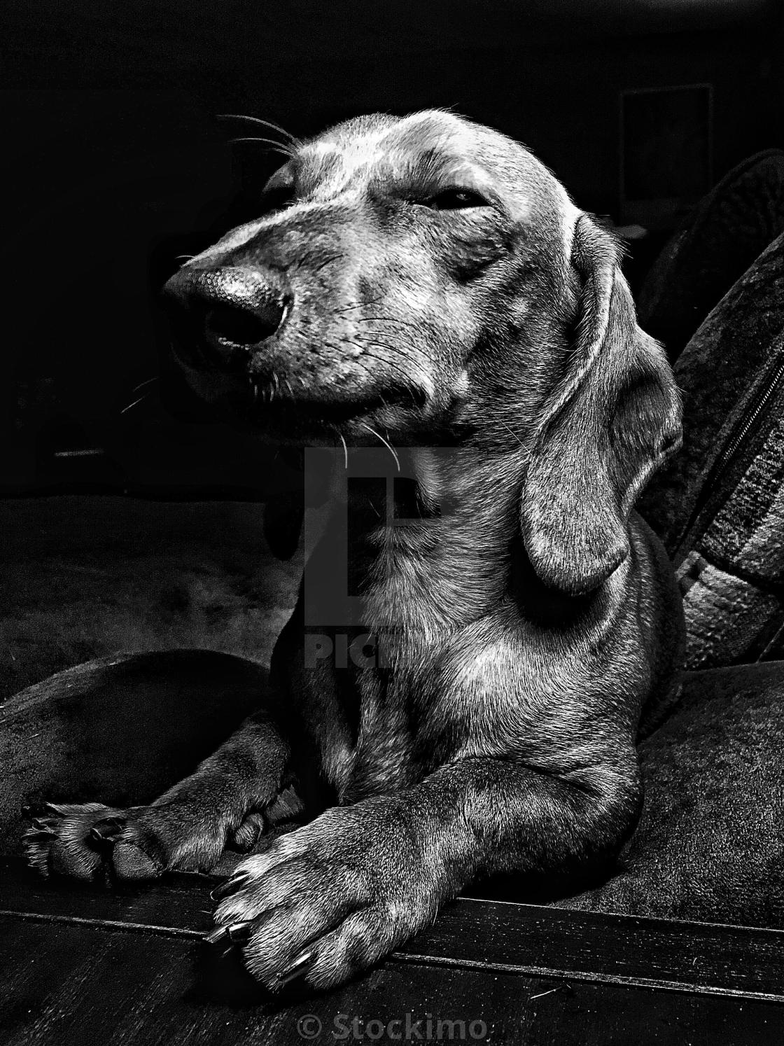"""""""Miniature Dachshund relaxes and looks very regal"""" stock image"""