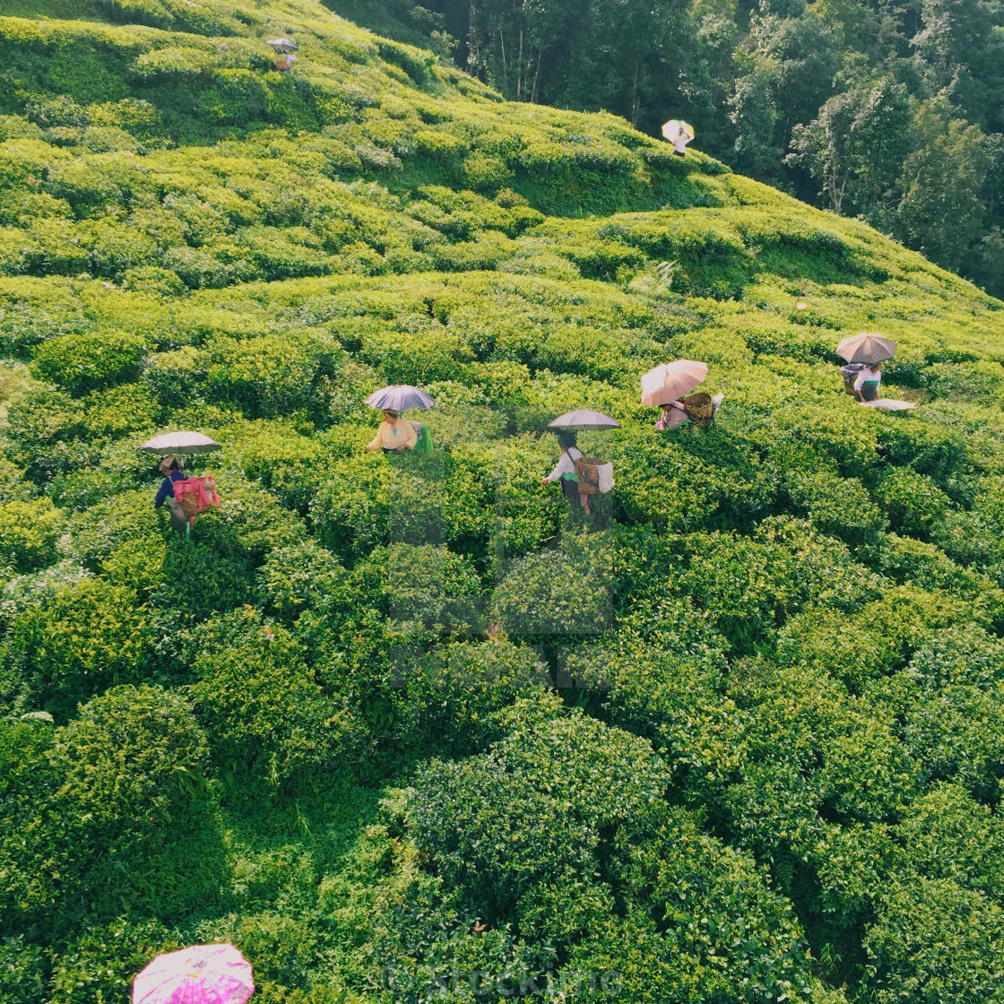 """Darjeeling tea garden from the above."" stock image"