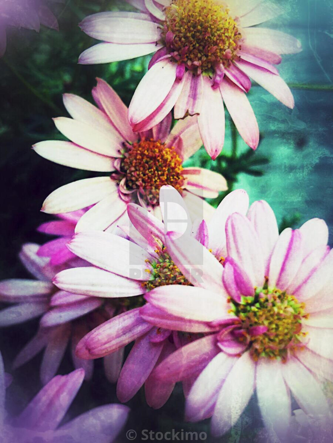 Pink Daisy Like Flowers License For 3100 On Picfair