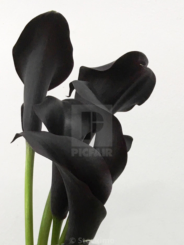 Black Calla Lilies License For 3100 On Picfair