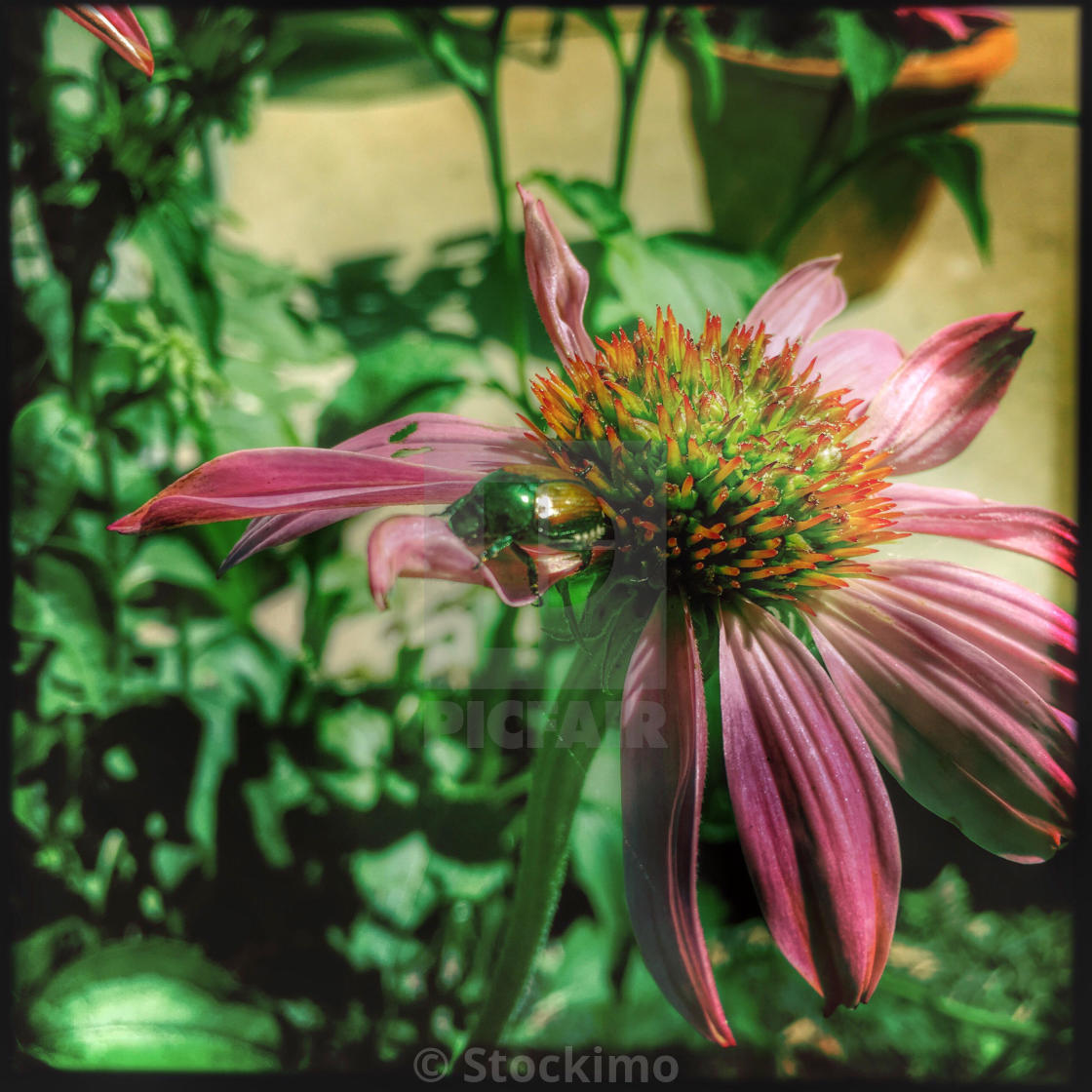 """""""A Japanese beetle on a coneflower."""" stock image"""