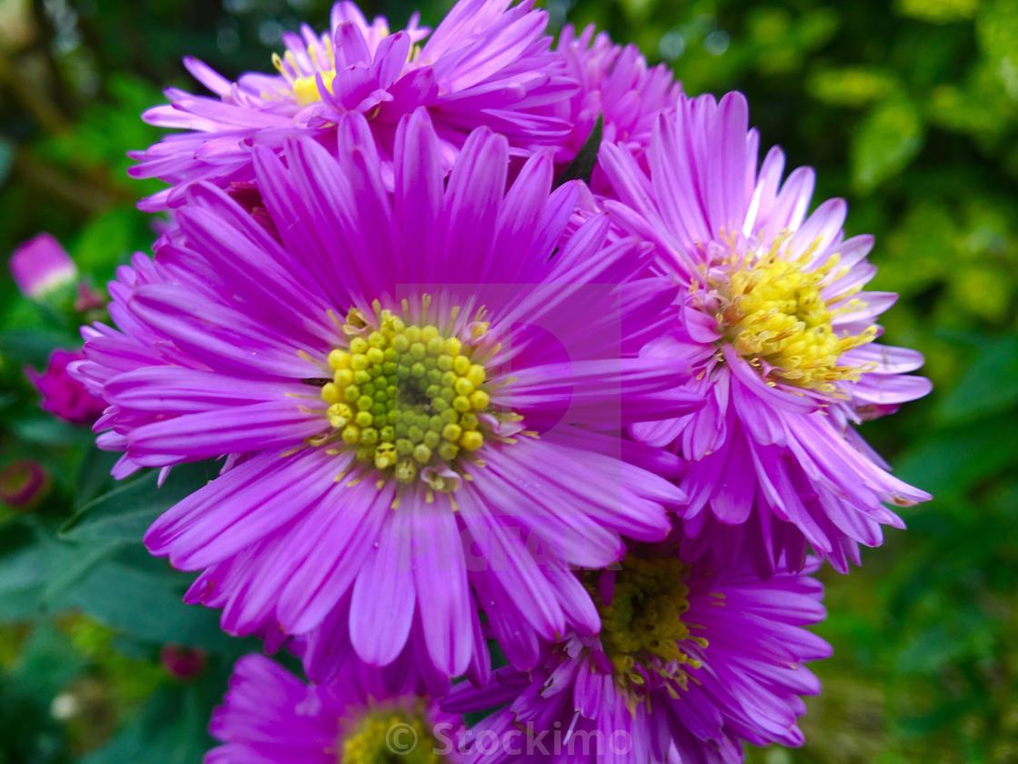 Patterns In Nature Michaelmas Daisy Aster Novi Belgii Flowers In