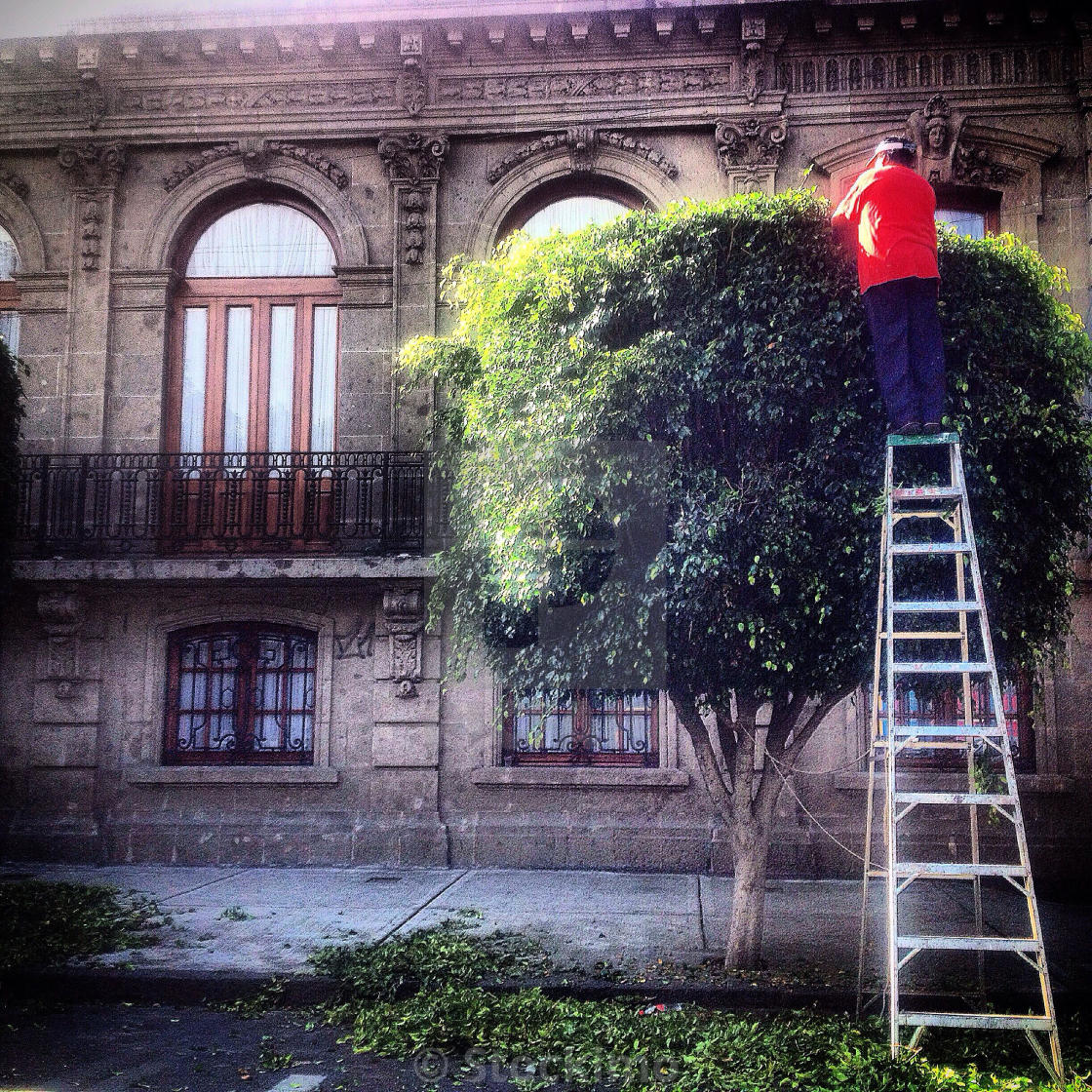 """""""A man overprunning a tree in Mexico City, Mexico. Overprunning damages trees and is a cause of air pollution because branches clean the air."""" stock image"""