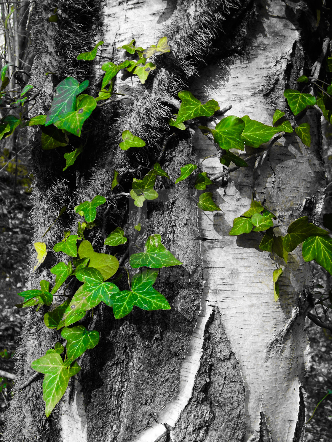 """Silver Birch and Ivy"" stock image"