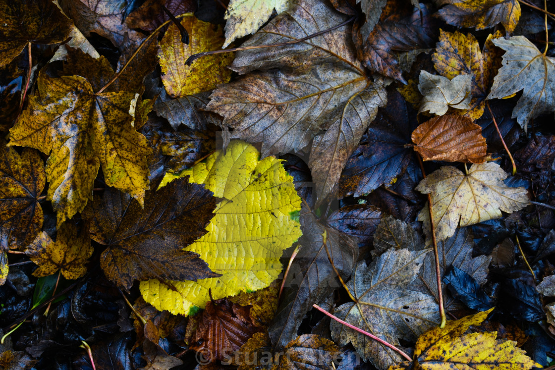 """01 Autumn Leaves"" stock image"