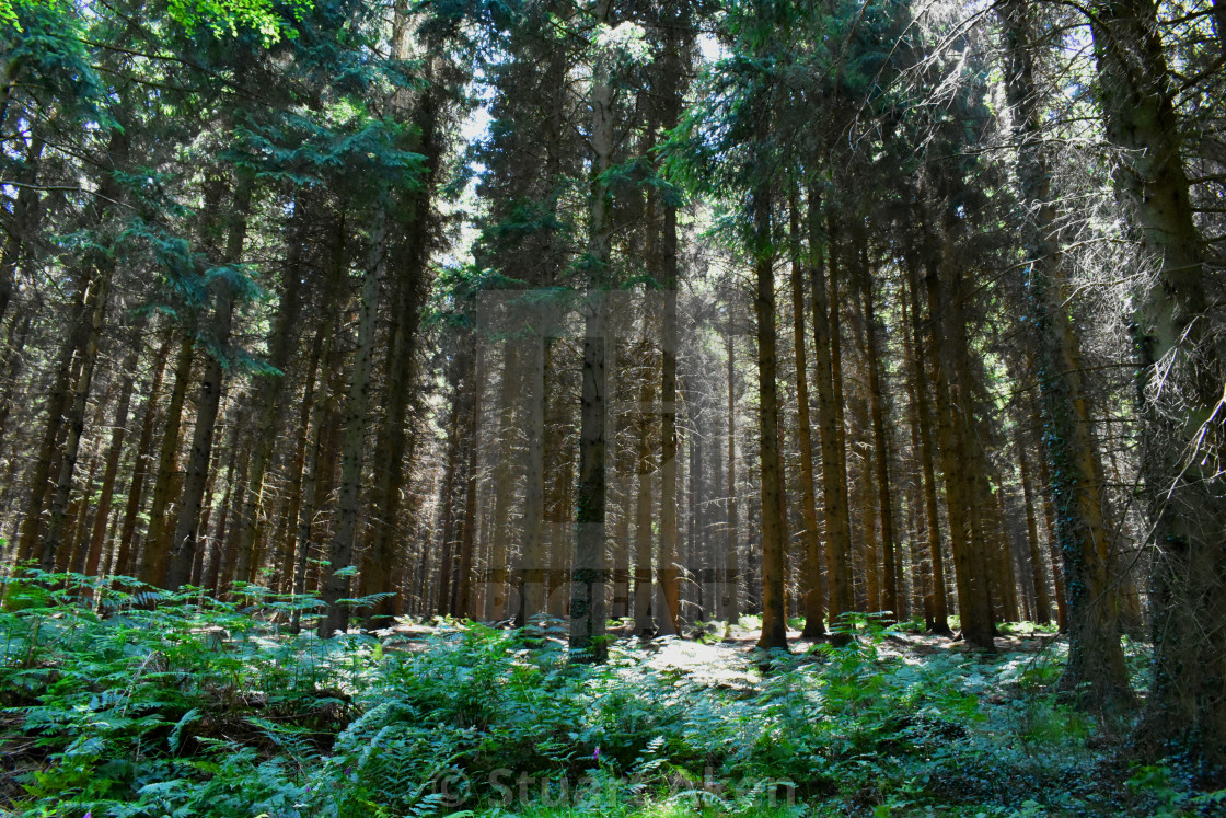 """Fir Forest"" stock image"