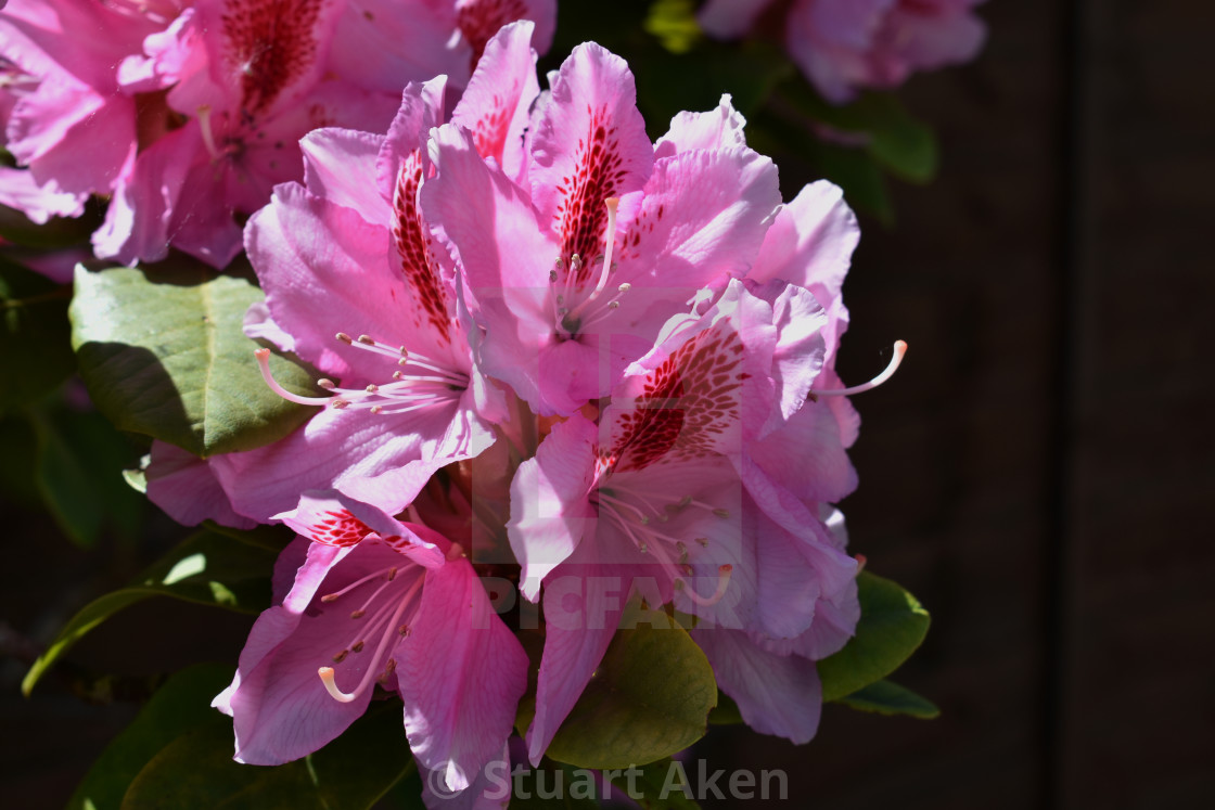 """Pink Rhododendron"" stock image"