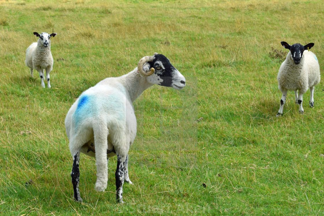 """""""Ewe and Lambs"""" stock image"""