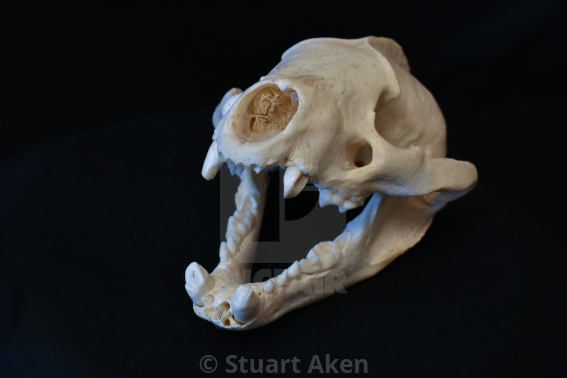 """Badger Skull"" stock image"