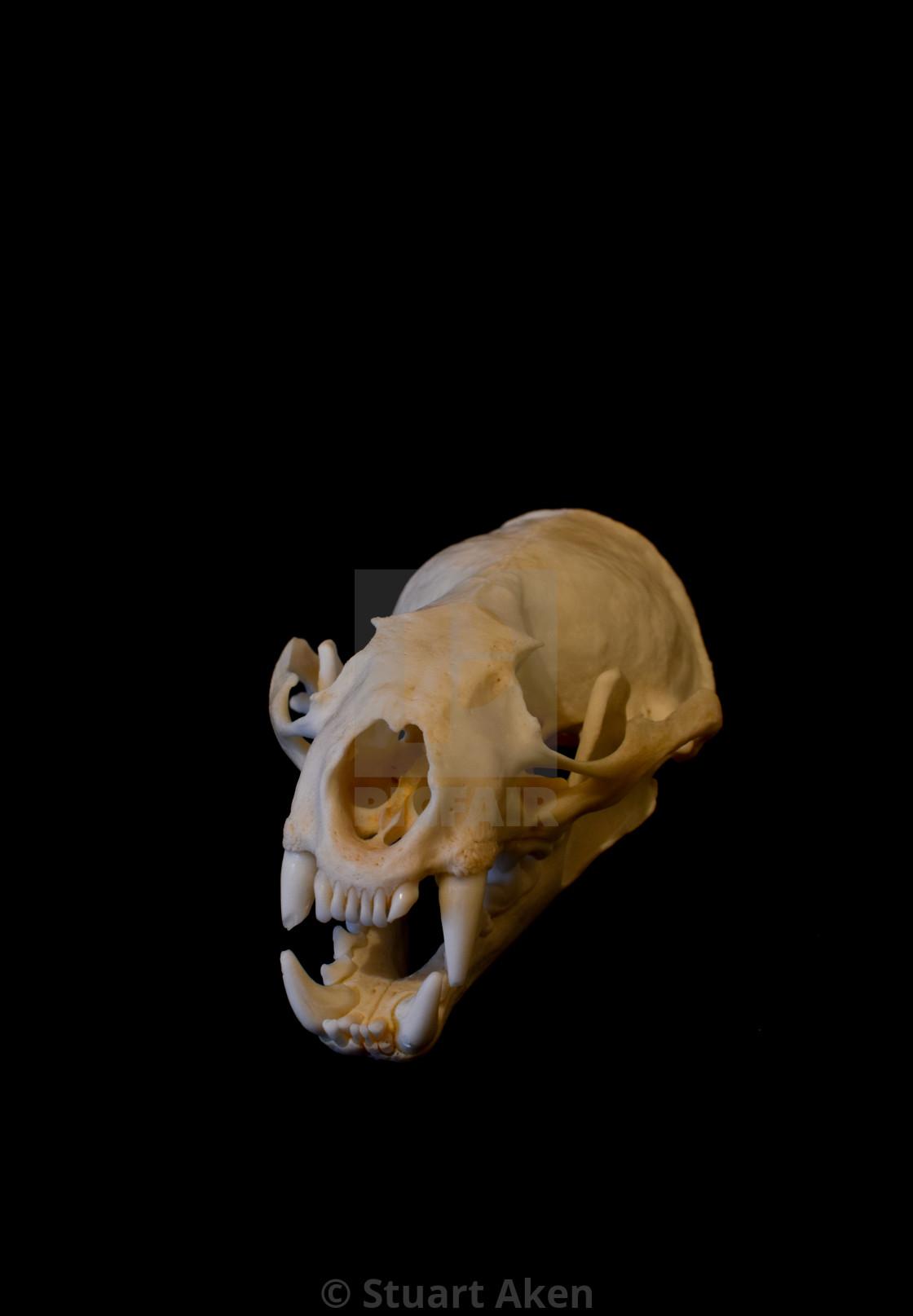 """Coyote Skull"" stock image"