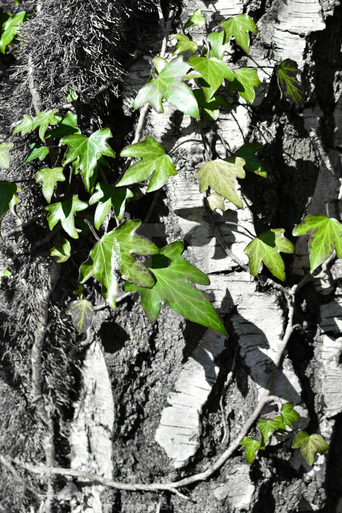 """Green Ivy on Birch"" stock image"