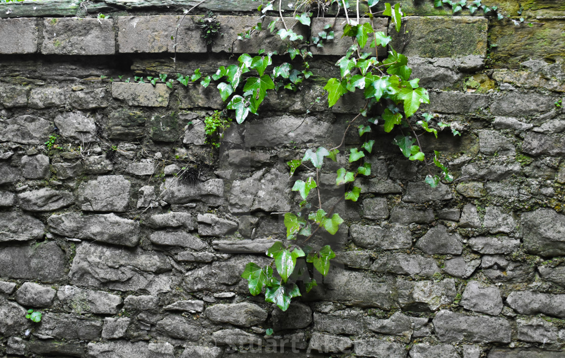 """""""Ivy Draped over a Stone Wall"""" stock image"""